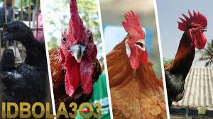 harga ayam bangkok termahal didunia