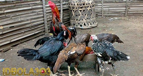 tips memilih indukan ayam bangkok juara