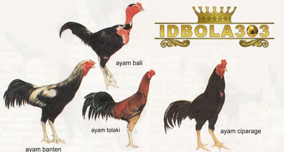 jenis ayam aduan lokal asli indonesia
