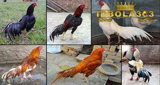 katuranggan warna bulu ayam bangkok